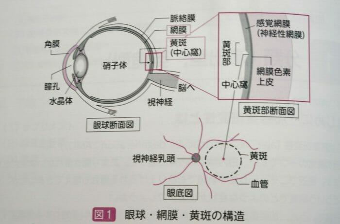 眼球・網膜・黄斑の構造